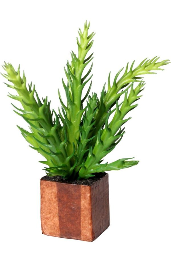 Cult Design Växt kub Euphorbia Cactus